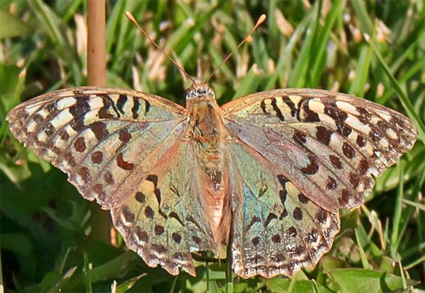 Welke vlinder is dit de kleur verandert naargelang de - Kleur opzoeken ...
