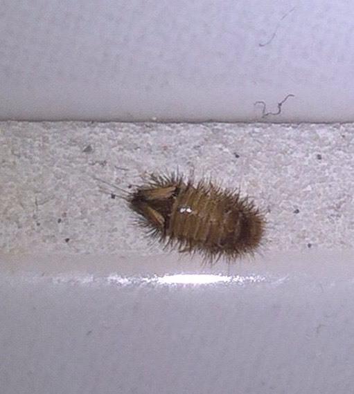 Wat is dit voor beestje wat soms op een voeg in badkamer of toilet ...