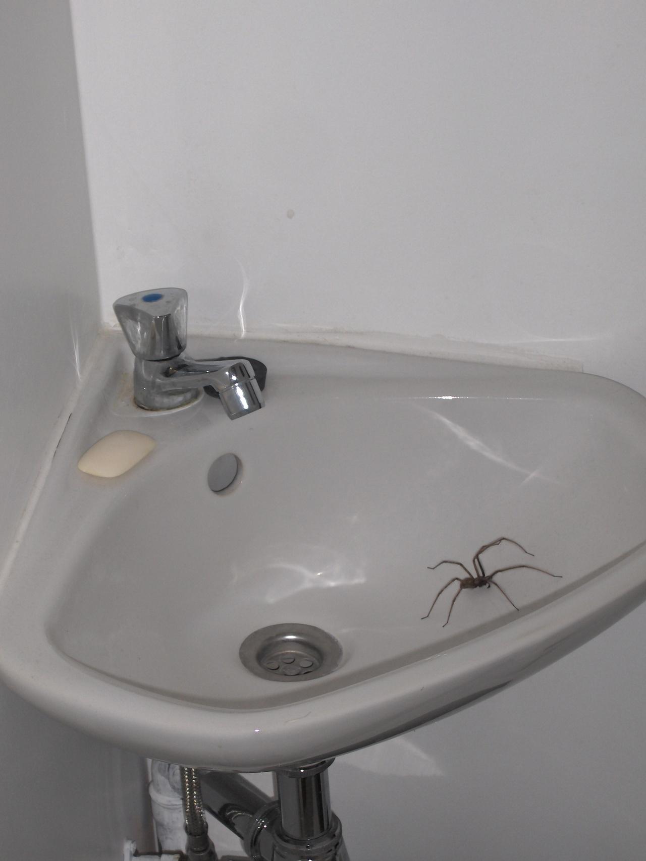 Ik vond deze spin in het toilet deze week en had nog nooit zo 39 n grote gezien om welke spin gaat - Welke kleur in het toilet ...